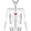 Thoracic vertebra 7 posterior.png