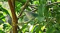 Thraupis sayaca feeding on guavas (2835908691).jpg