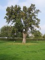 Three Hundred Year-Old Perry Tree, Awnells Farm - geograph.org.uk - 65699.jpg