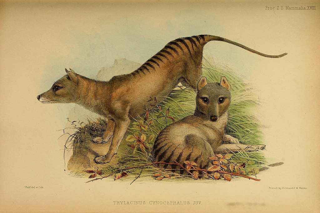 Thylacine lithograph