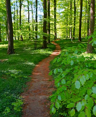 Rønde - Path through beech wood in spring at Hestehave Skov by Rønde.