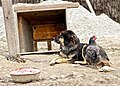 Tibetan Mastiff - Maybe If I don't see you, you don't see me too.jpg