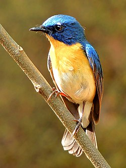 Tickell's blue flycatcher (Cyornis tickelliae) Photograph By Shantanu Kuveskar.jpg