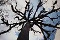 Tikal Ceiba Tree National Tree of Guatemala & Axis Mundi of Maya (9791192436).jpg