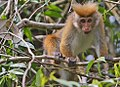 Toque Macaque (Macaca sinica aurifrons) (4827062581).jpg