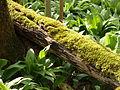 Toter Baum mit Moos4.JPG