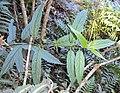 Tournefortia heyneana 08.JPG