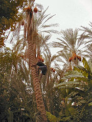 View on palmeraie of Tozeur, Tunisia, with worker on the date palm tree
