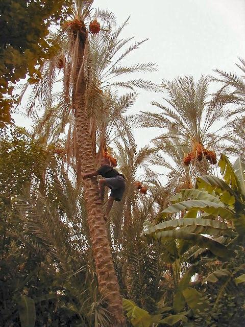 Tozeur-palmeraie