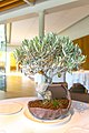 Tree with caramelized olives stuffed with anchovies (15872173272).jpg