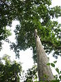 Trees in Bia Forest.JPG