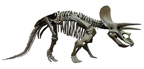 Triceratops Skeleton Senckenberg 2a White Background.jpg