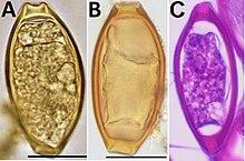 trichocephalus biohelminth)