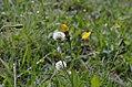 Trifolium montanum Leontodon hispidus.jpg