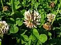 Trifolium repens flower (10733645365).jpg