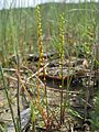 Triglochin striata plant2 - Flickr - Macleay Grass Man.jpg