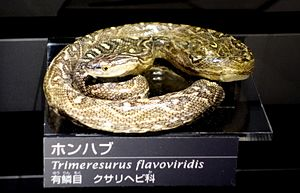 Protobothrops flavoviridis - Mounted specimen at the National Museum of Nature and Science, Tokyo, Japan.