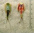 Triops-longicaudatus-dorsal-ventral.jpg
