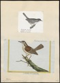Troglodytes ludovicianus - 1700-1880 - Print - Iconographia Zoologica - Special Collections University of Amsterdam - UBA01 IZ19200441.tif