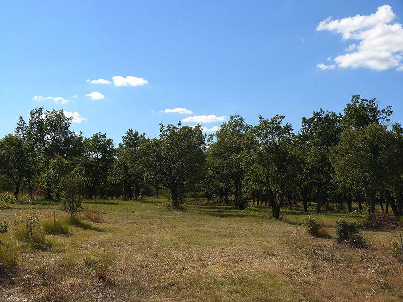 Truffière de Lalbenque: les chênes verts et pubescents.