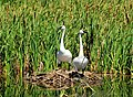 Trumpeter Swan Pair on Seedskadee NWR (24191786736).jpg