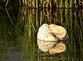 Trumpeter swan on Seedskadee National Wildlife Refuge (36068397483).jpg