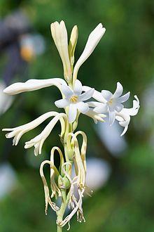Tuberose flower.jpg