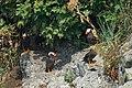 Tufted Puffins (20066612689).jpg