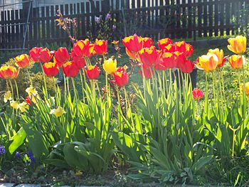 Tulips in a flower bed.JPG