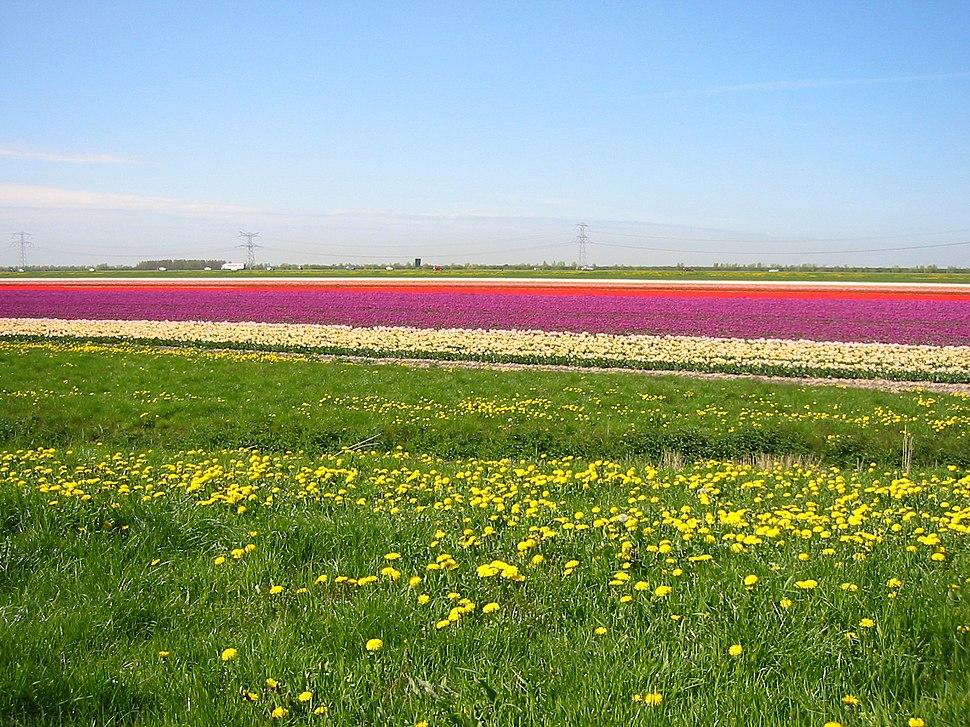 Tulpenvelden1