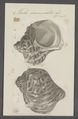 Turbo marmoratus - - Print - Iconographia Zoologica - Special Collections University of Amsterdam - UBAINV0274 082 23 0003.tif