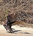 Turkey Vultures (Cathartes aura) couple (31723089111).jpg