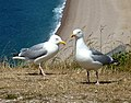 Two gulls on Portland - geograph.org.uk - 1393399.jpg