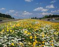 US70-Clayton Bypass-Wild Flowers.jpg