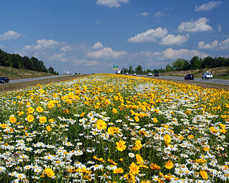 U.S. Route 70 in North Carolina - Oxeye daisies and Coreopsis lanceolata along the Clayton Bypass