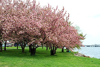 Cherry blossom wikipedia cherry blossoms in washington dc mightylinksfo