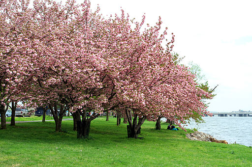 USA-Cherry Blossom0