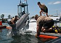 US Navy 100608-N-9806M-099 sailors work with a bottlenose dolphin at Joint Expeditionary Base Little Creek-Fort Story during Frontier Sentinel 2010.jpg