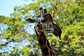 Udaya giraffe.jpg