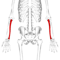 Ulna - anterior view2.png