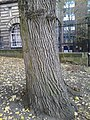 Unknown Ulmus, Middle Meadows Walk, Edinburgh (5).jpg