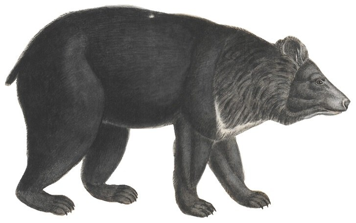 Ursus thibetanus - 1700-1880 - Print - Iconographia Zoologica - Special Collections University of Amsterdam -(white background)