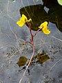 Utricularia vulgaris 003.JPG