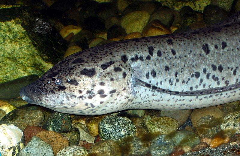 African Lungfish face