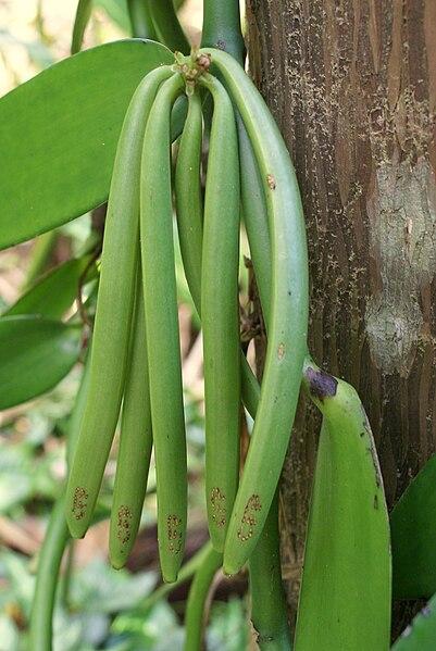 File:Vanilla planifolia cluster of green pods.JPG