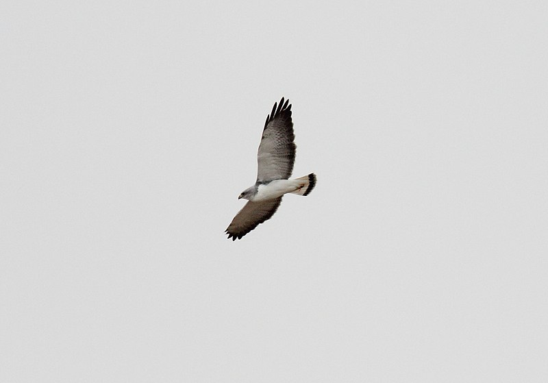 Fil:Variable Hawk (Geranoaetus polyosoma) (15339360503).jpg