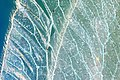 Variety of different insect wings, details of a wing of a lacewing, a series of photos, 1st of 3.jpg