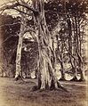 Vernon Heath (British - Beech Trees, Inveraray - Google Art Project.jpg