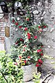 Verona, roses on the Scalinata Castel San Pietro.jpg
