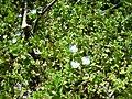 Veronica persica Plant 2010-4-02 DehesaBoyalPuertollano.jpg